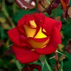 Learn from experts at free All About Roses event