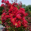 Nothing beats Crape Myrtles for summer color
