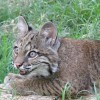 In-Sync Exotics welcomes baby bobcat