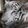 In-Sync welcomes first white tiger