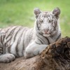 Groundbreaking Study at Stanford Sequences Generic Tiger Genome