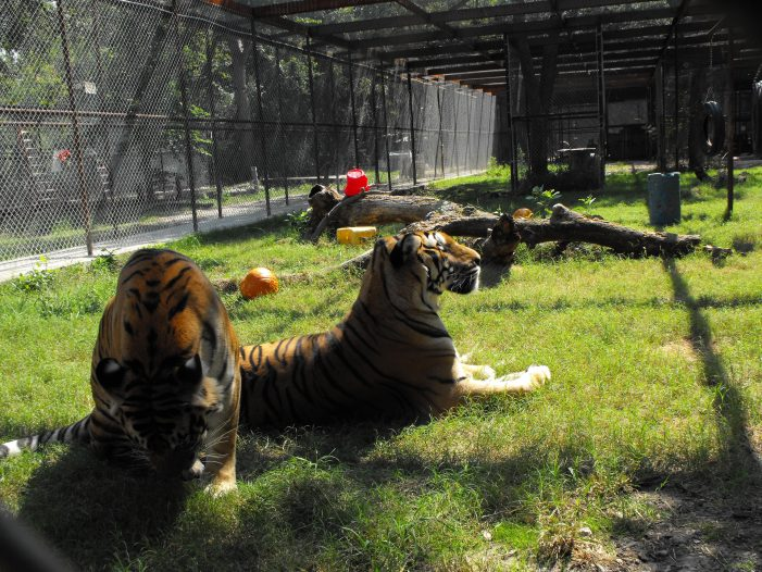 Tiger Trot to honor memory of exotic cats