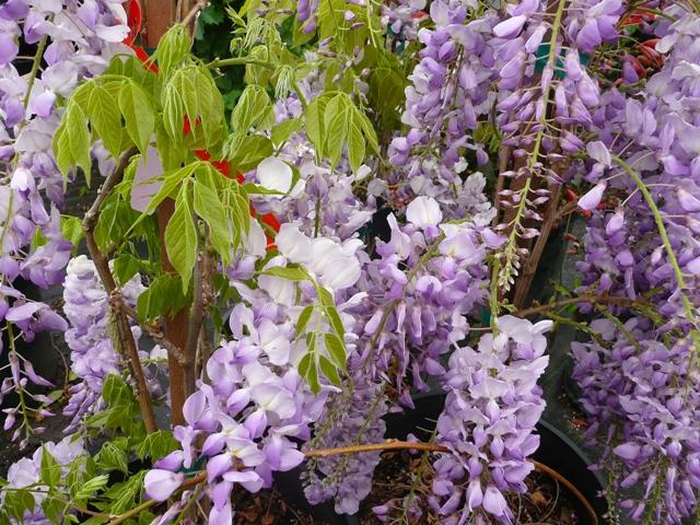 Lavender Falls Wistera