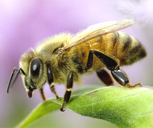 http://blueribbonnews.com/wp-content/uploads/2012/04/honey-bee.jpg