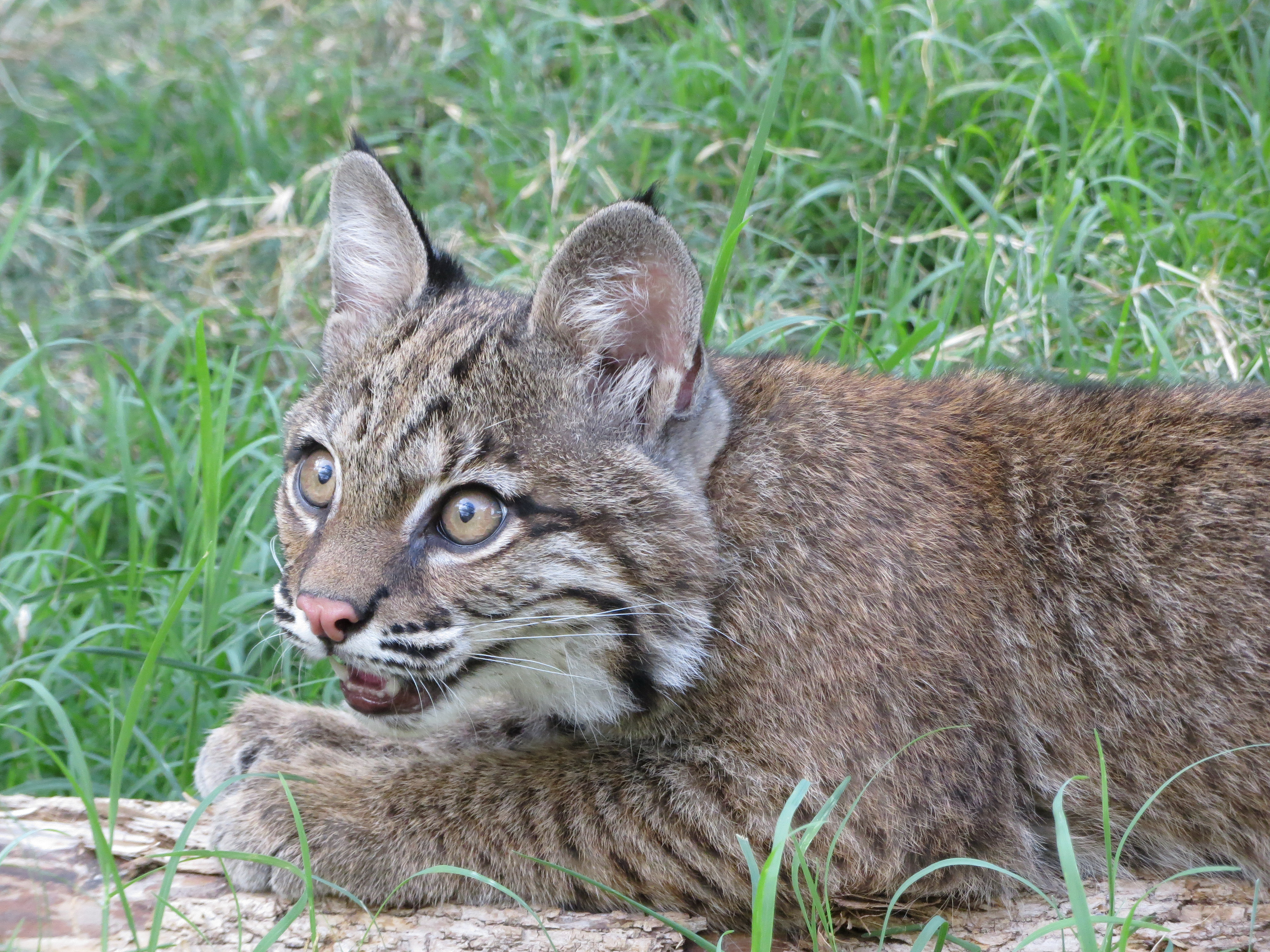 2012 a Baby Bobcat Was