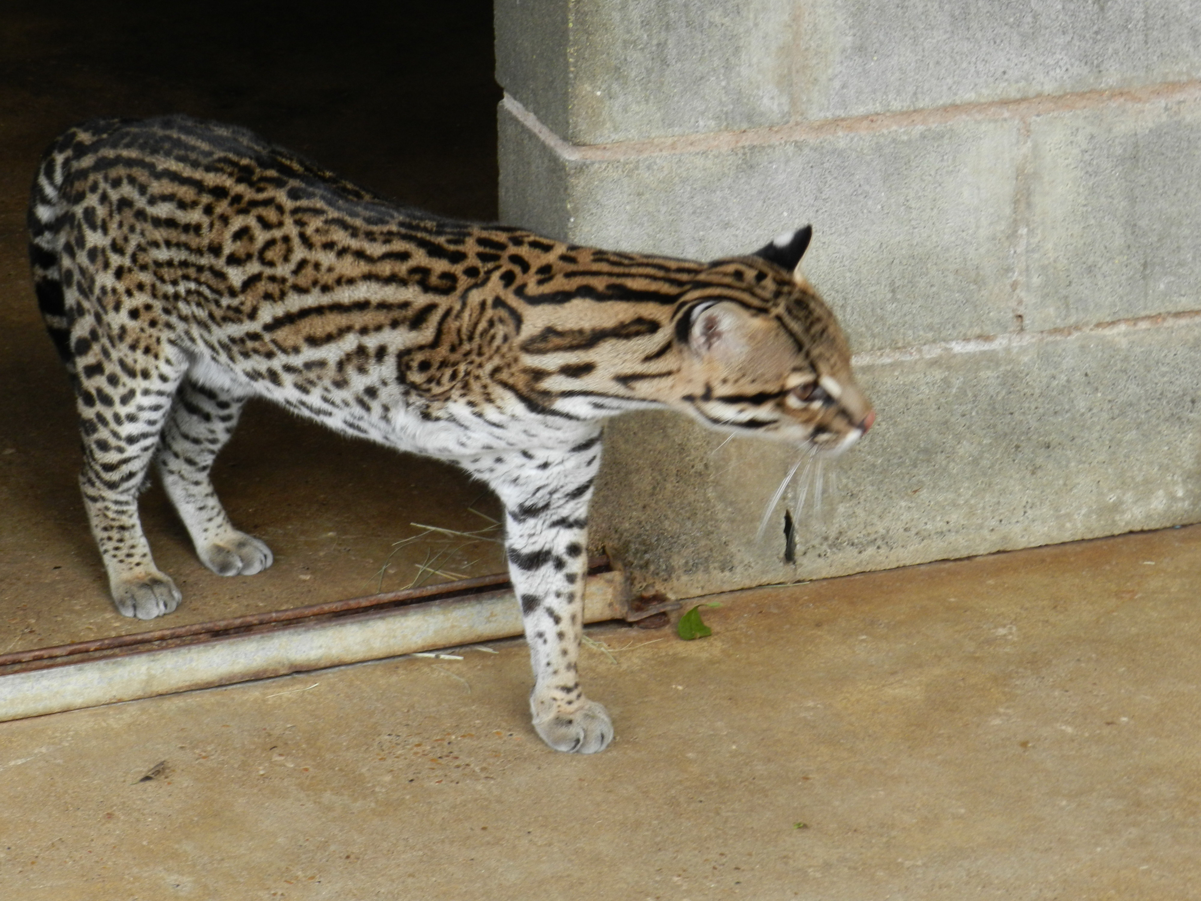 In-Sync Exotics welcomes three-legged, endangered Brazilian ocelot