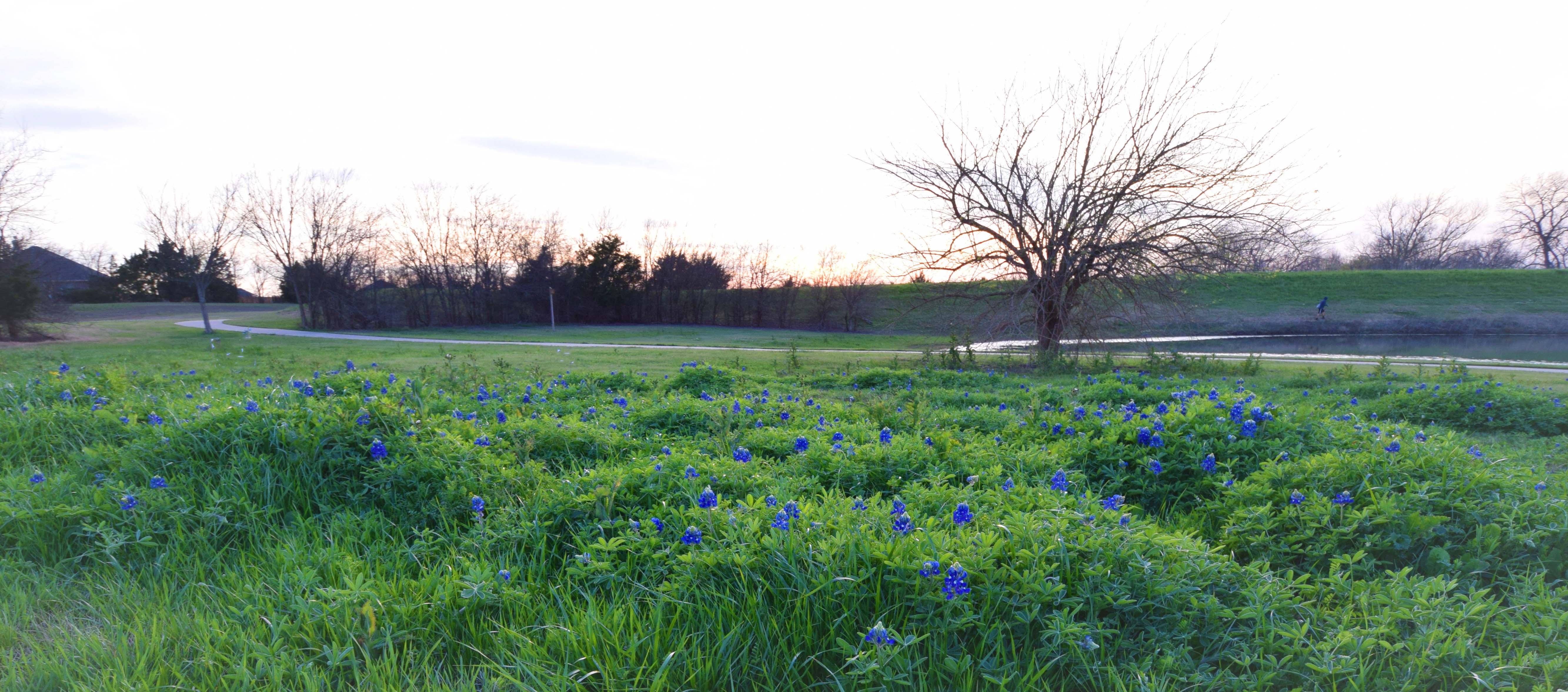 Bluebonnets bloom in Rockwall neighborhood