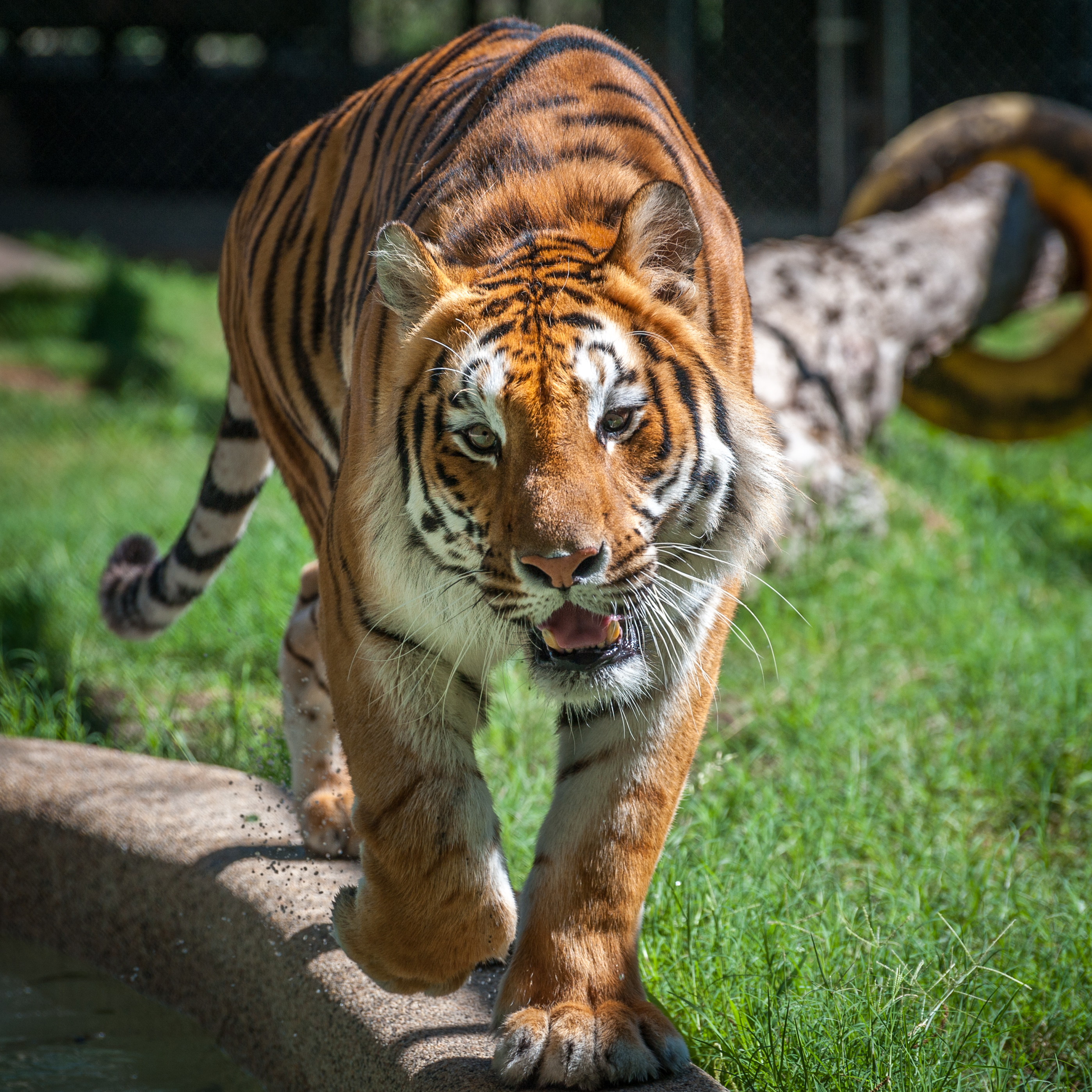 In-Sync Exotics throws big cats a birthday party June 10
