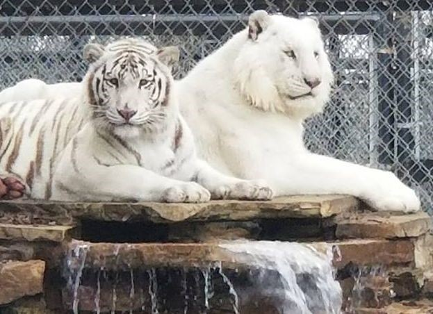 Seized white tigers given clean bill of health