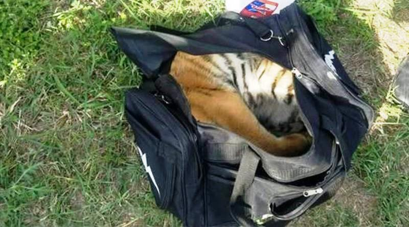 Tiger cub in duffel bag rescued at Texas border comes to In-Sync Exotics
