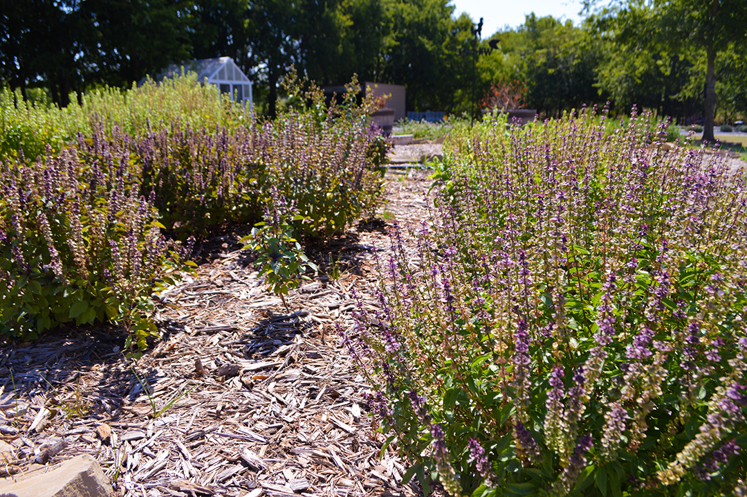 Lavender blooms at Prayer Lavender Garden