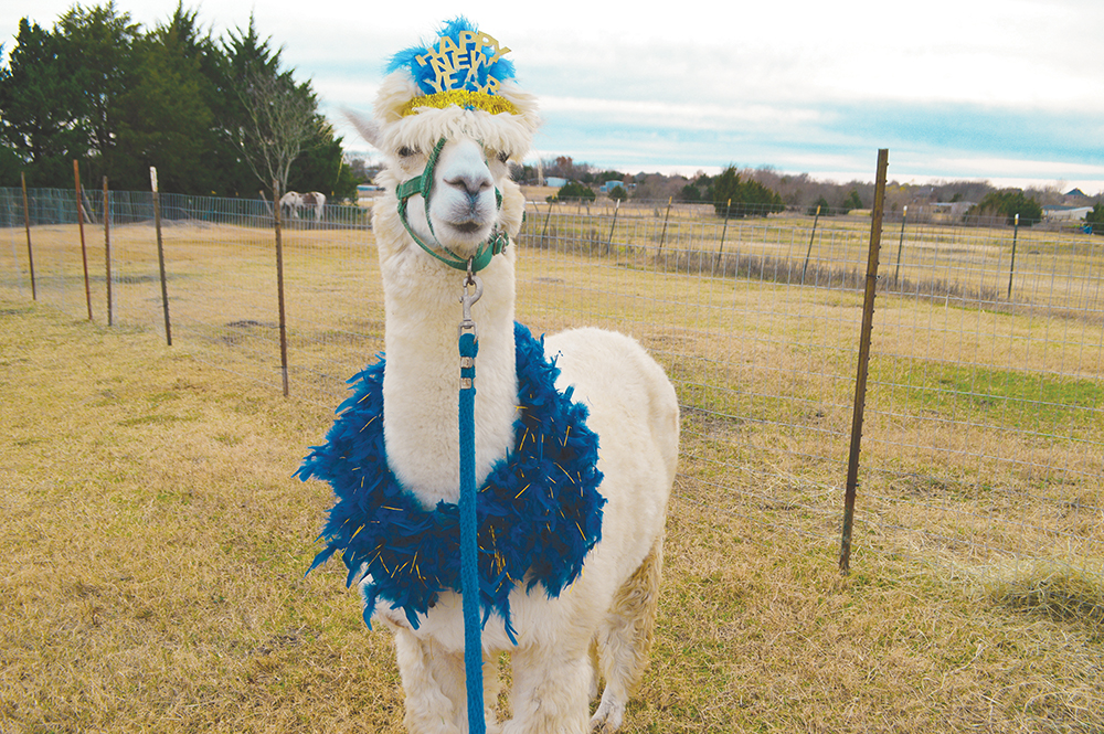 Alpaca Navajo gets dressed up for the New Year at Snowy Range Alpacas