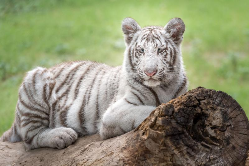 Groundbreaking Study at Stanford Sequences Generic Tiger