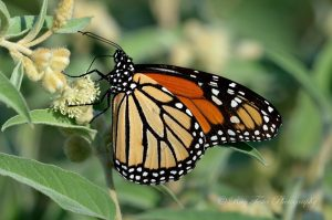Monarch by Ray Testa
