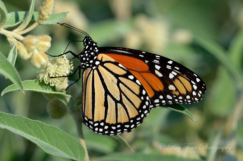 The Monarch Butterfly Project