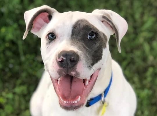 Meet Gremlin, the Good Boy – Blue Ribbon News Pet of the Week