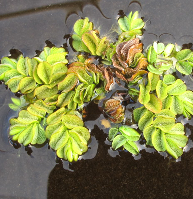 Common Salvinia discovered on Lake Fork