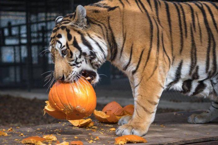 Big Cat Pumpkin Toss at In-Sync Exotics
