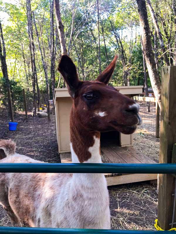 Llama at Blase Family Farm