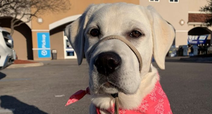 Milestone Millie Pup-Date: Patriot PAWS service dog in training learns cues, explores stores