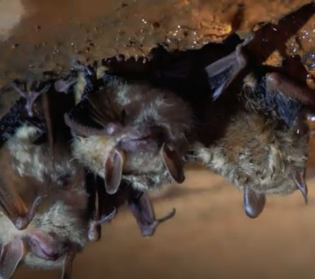Wildlife experts ask for public help in reporting bat mortality events