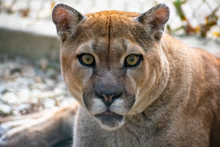 First U.S. case of COVID-19 confirmed in cougars at In-Sync Exotics in Wylie