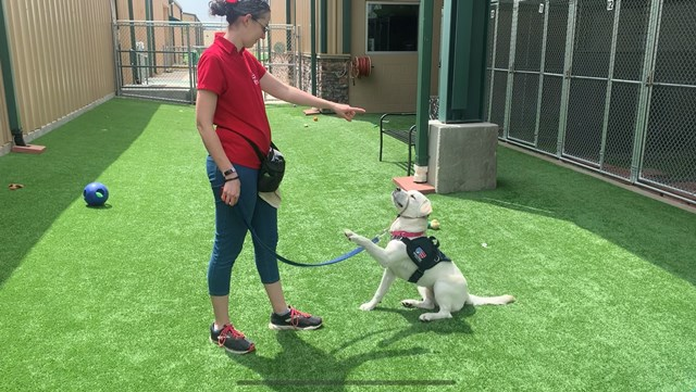 PUP-date: Milestone Millie, Patriot PAWS service dog in training, learns new cues