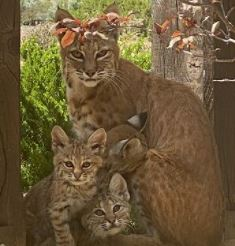 So you spotted a bobcat in your neighborhood…