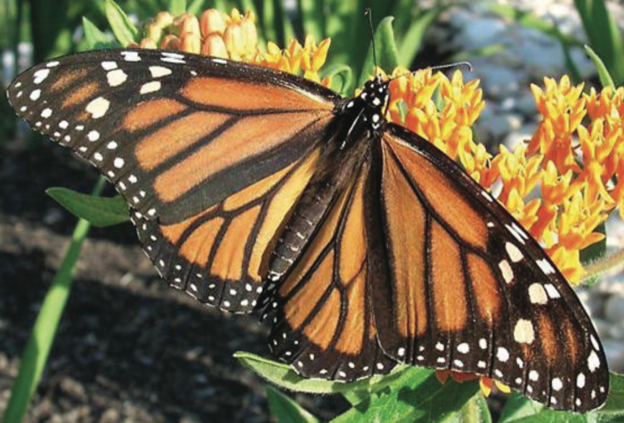New Monarch Butterfly conservation license plate available for Texas drivers